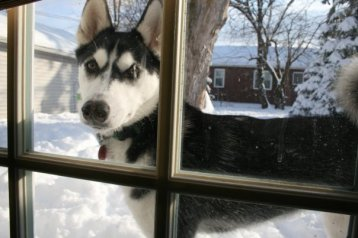 husky in window