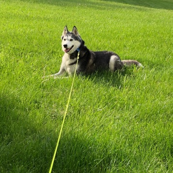husky in grass