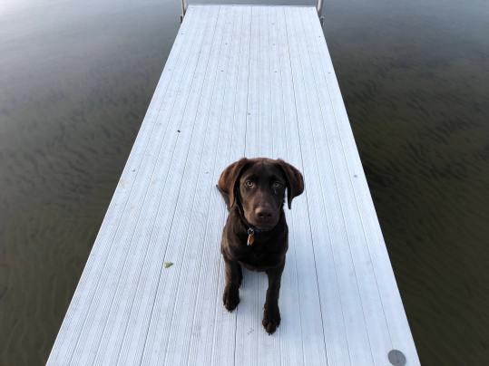 chocolate lab on dock